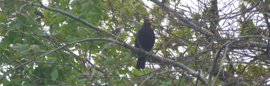 A blackbird singing in a tree.