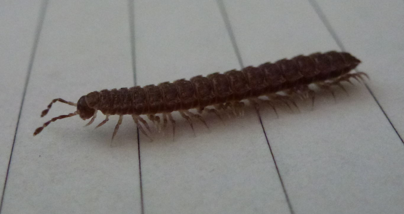 A flat backed millipede (Polydesmus angustus)