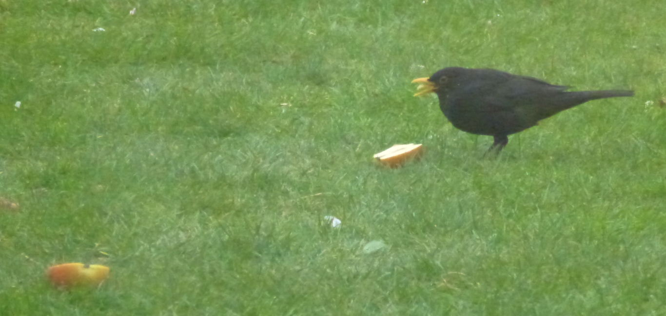 A male blackbird eating an apple.