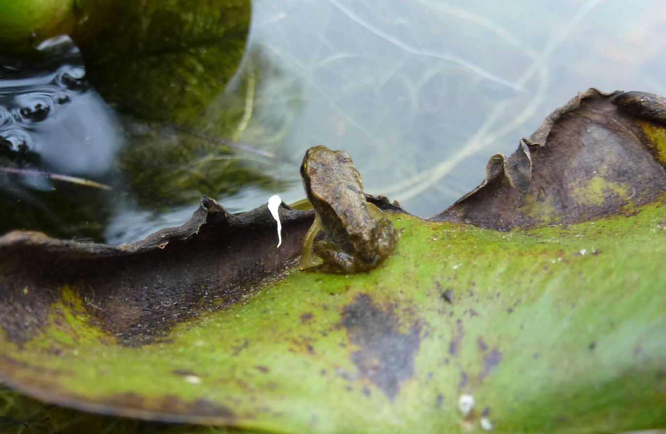 A froglet on the waters edge