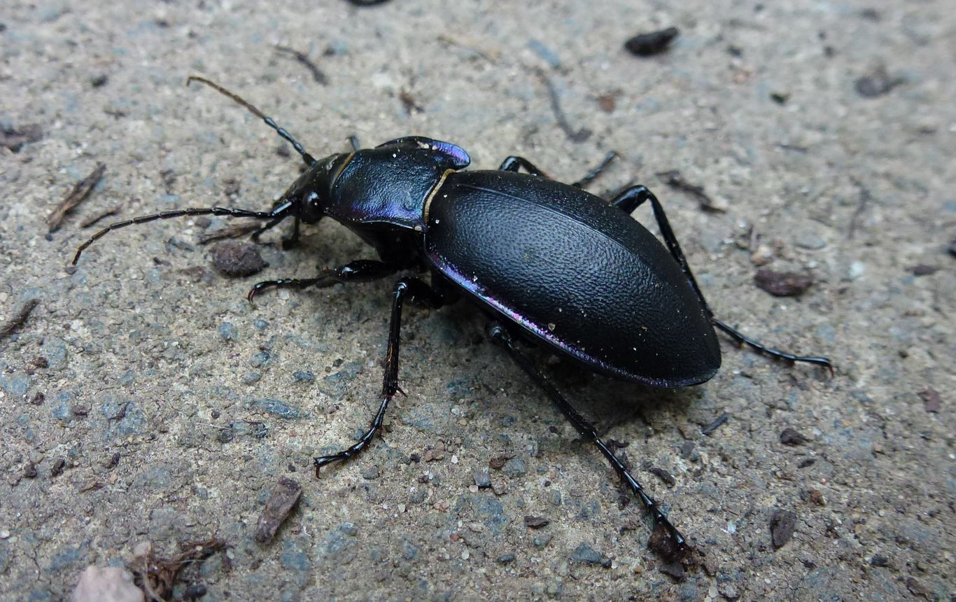A violet ground beetle.
