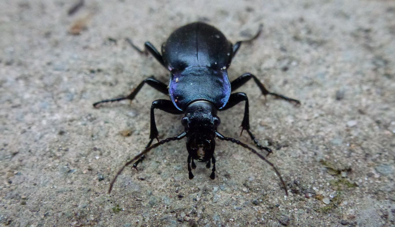 A violet ground beetle close up.