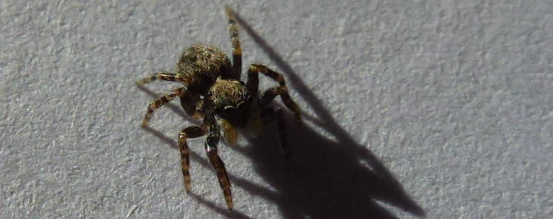 The Pseudeuophrys lanigera jumping spider