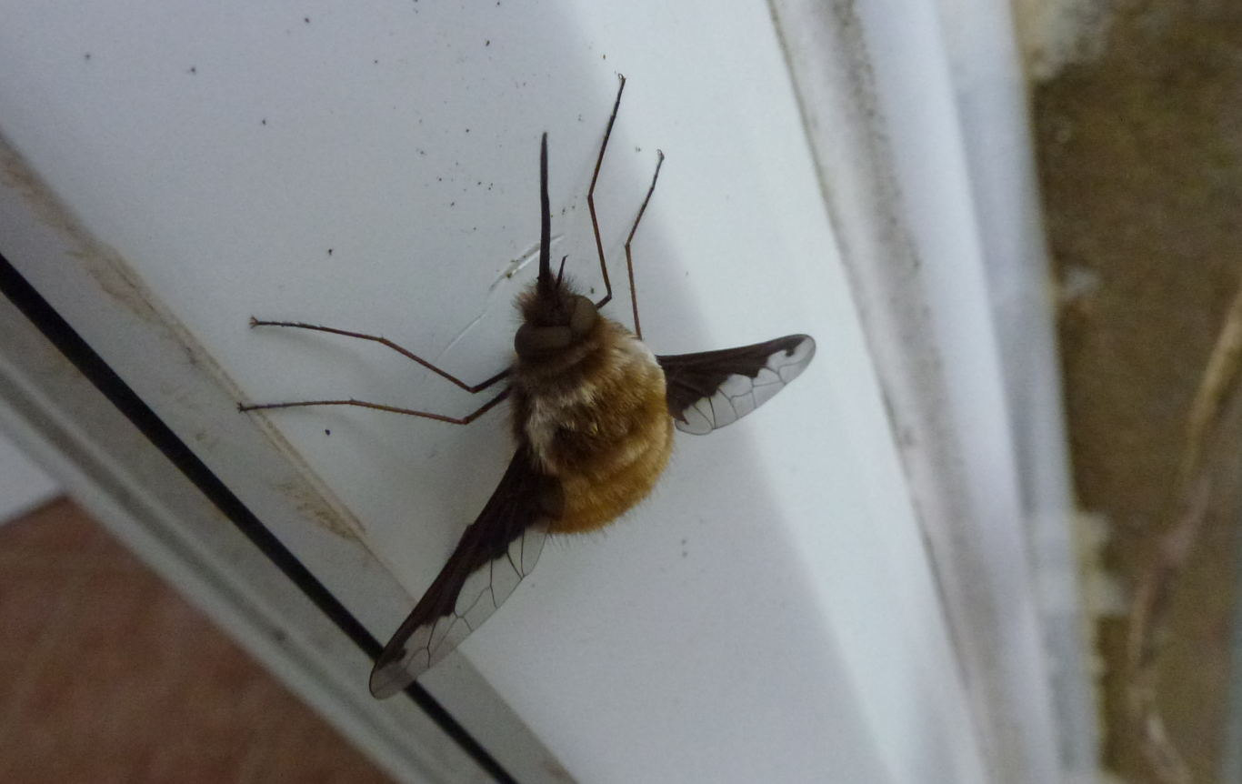 A bee fly resting on a door frame.