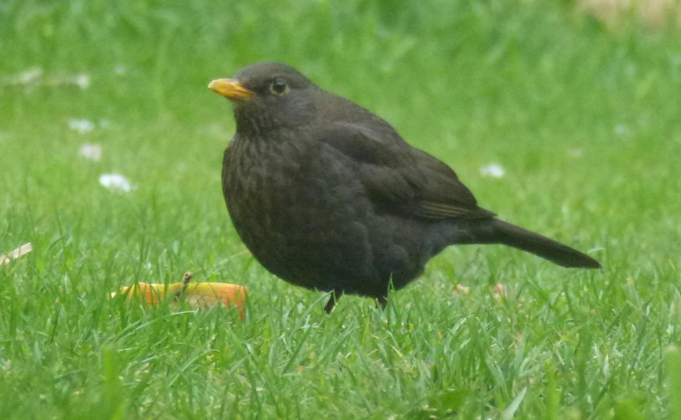 A female blackbird eating half an apple.