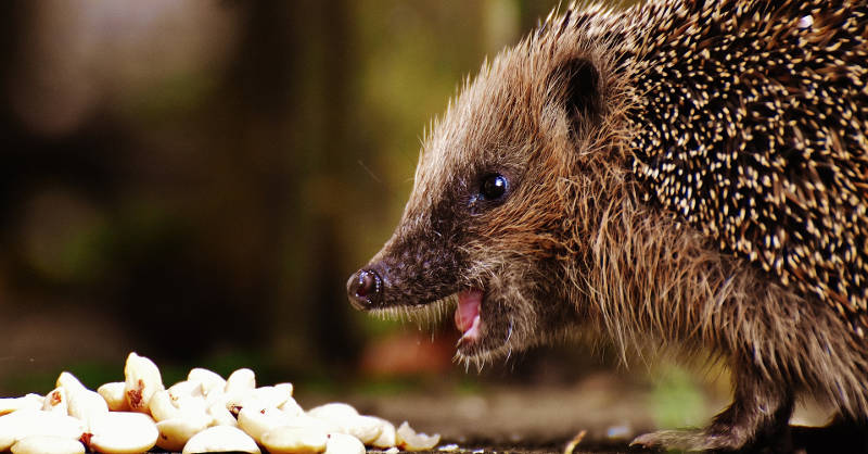 A hedgehog eating.
