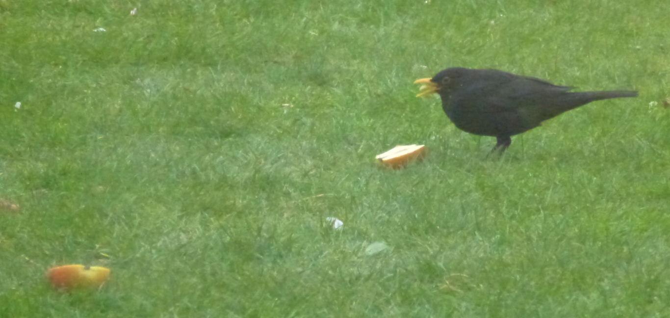 A male blackbird eating an apple.