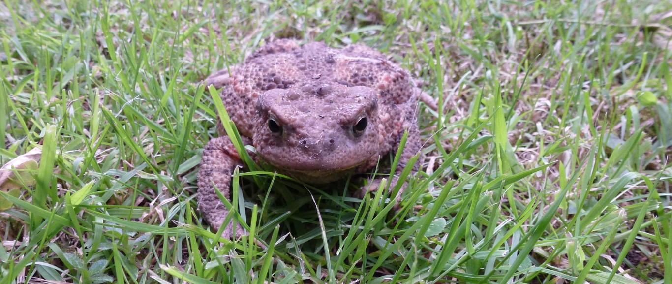 The common toad (Bufo bufo)