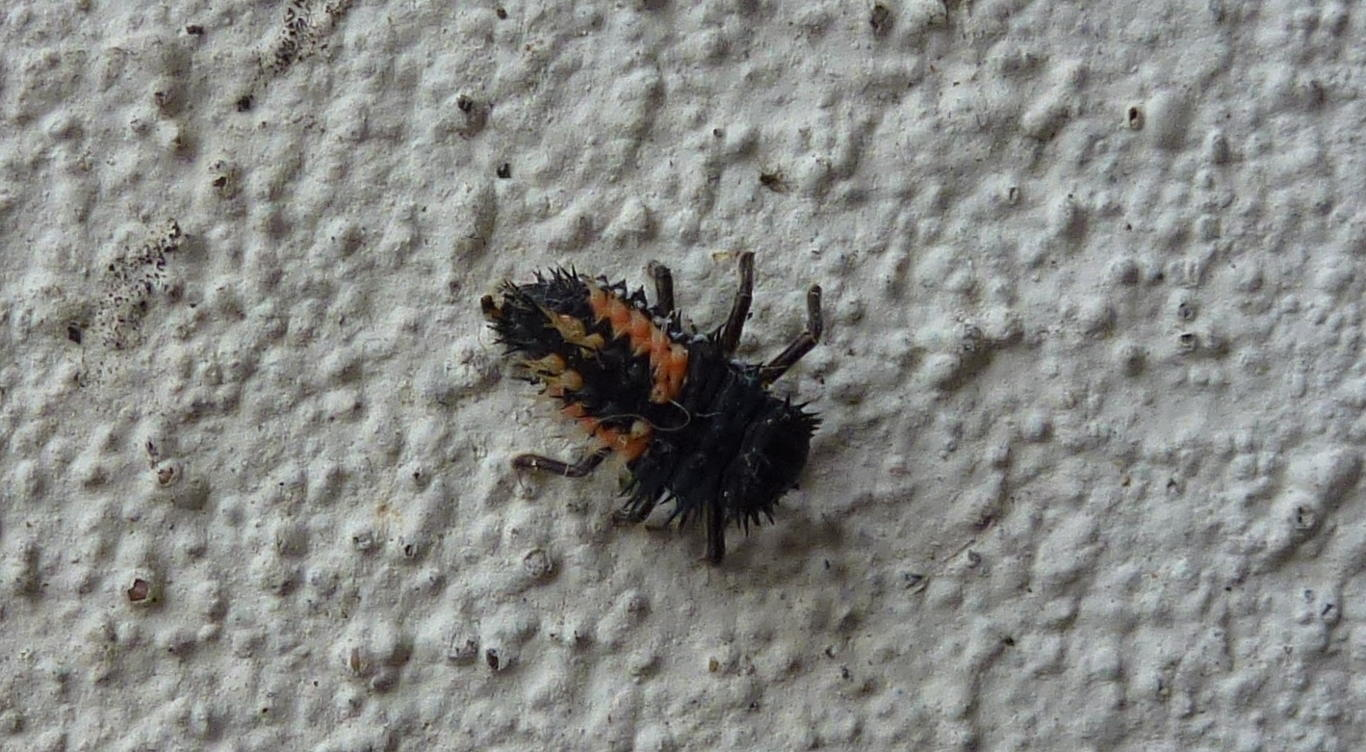 A harelquin ladybird larvae