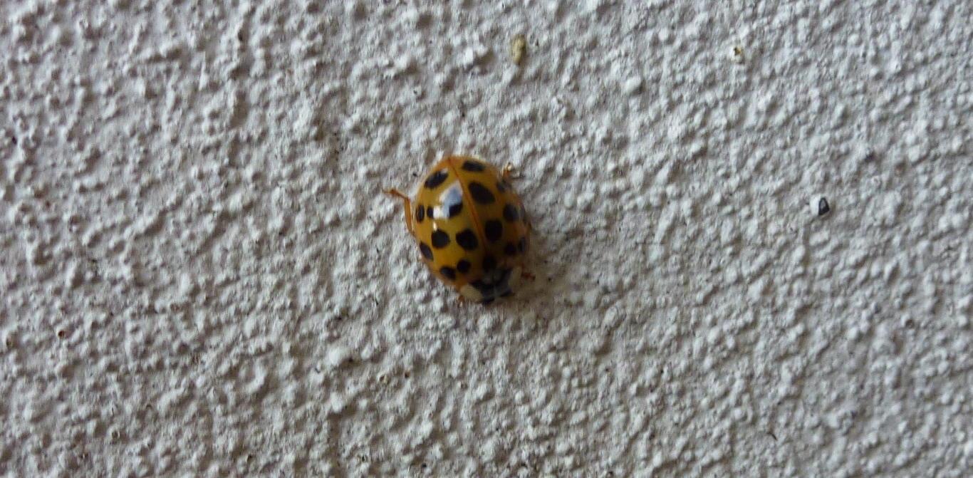 A harlequin ladybird - succinea