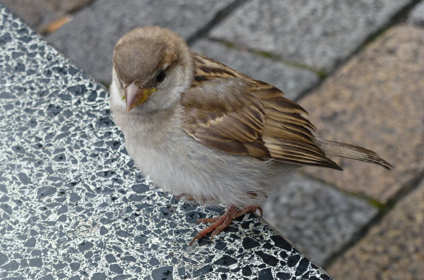A young female house sparrow.