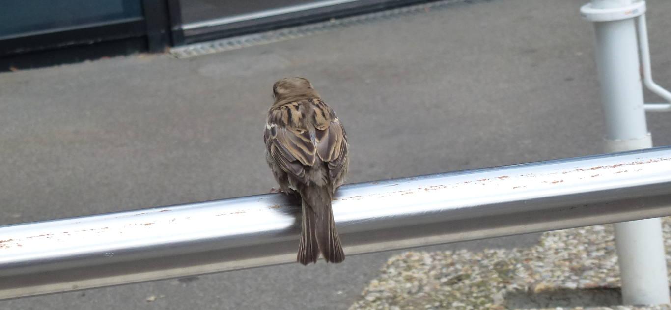 A house sparrow.