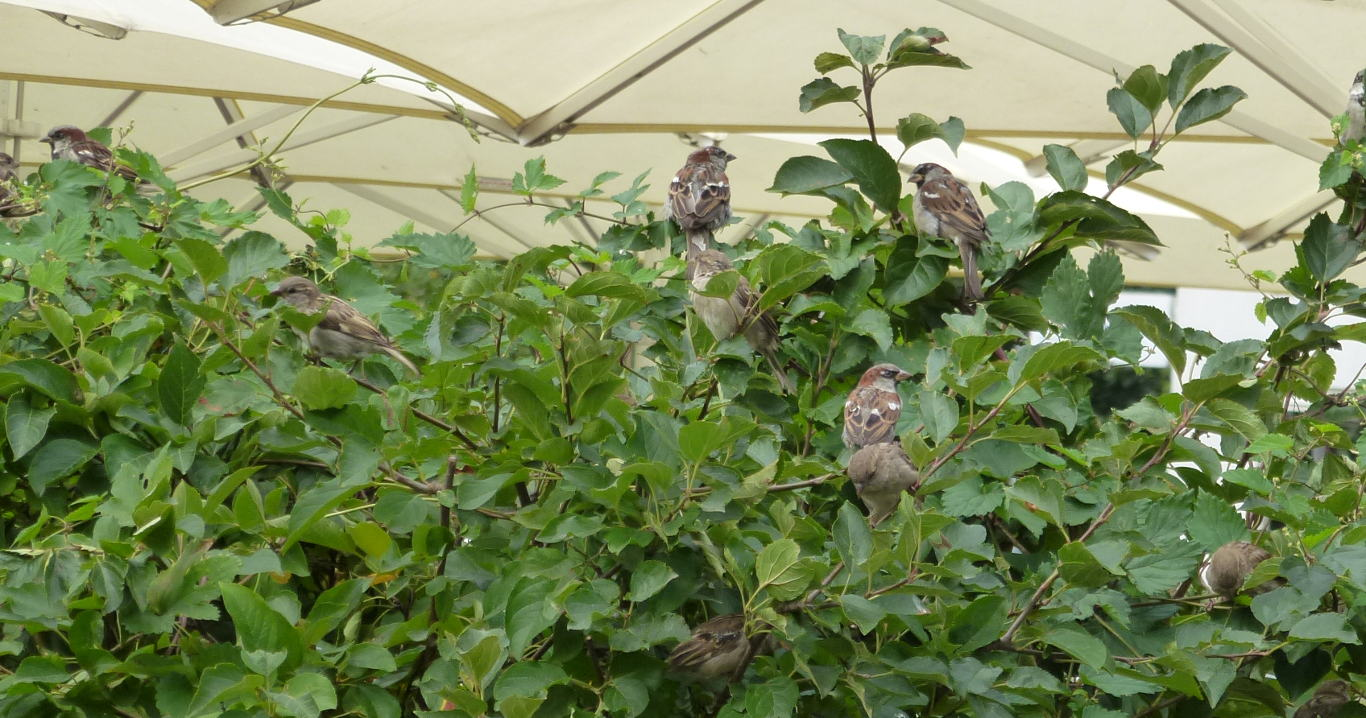 A group of house sparrows gather in a shrub.