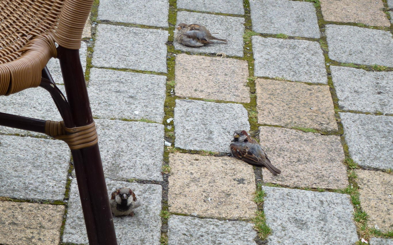A group of urban sparrows.