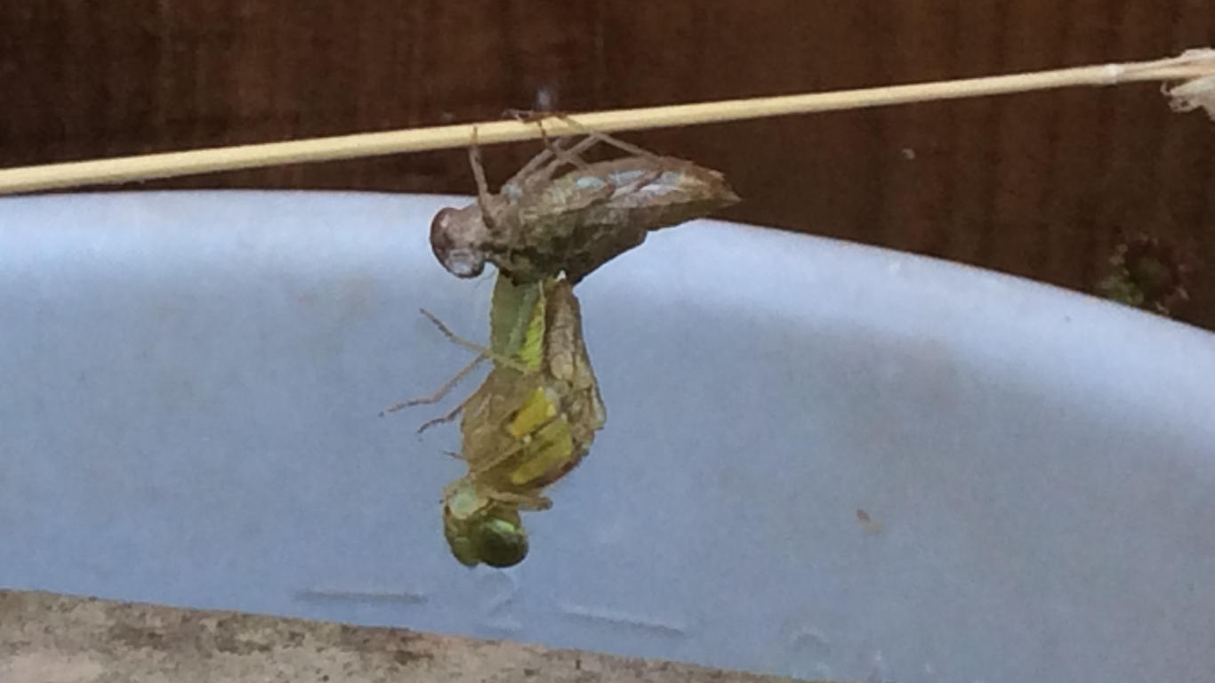 A Dragonfly Emerges From it's Larvae