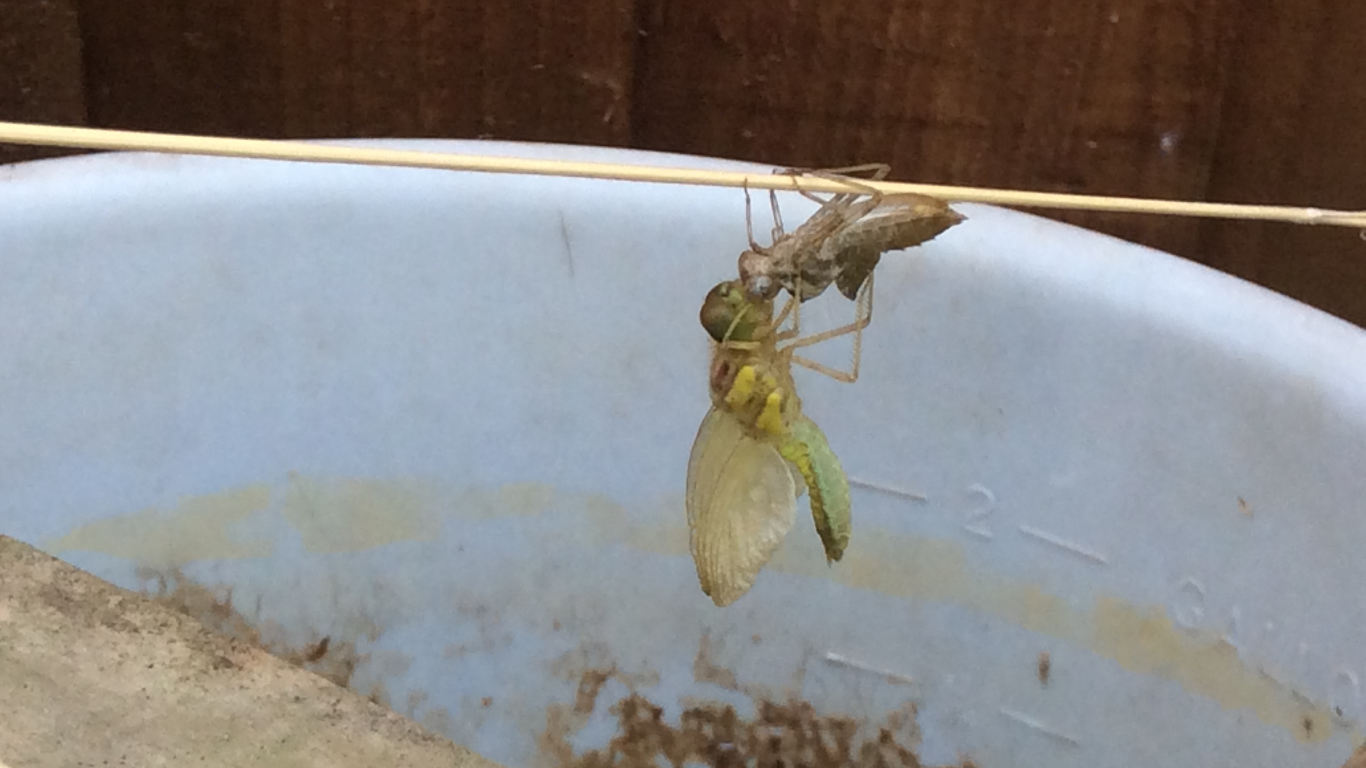 A dragonfly hangs on it's larval Skin