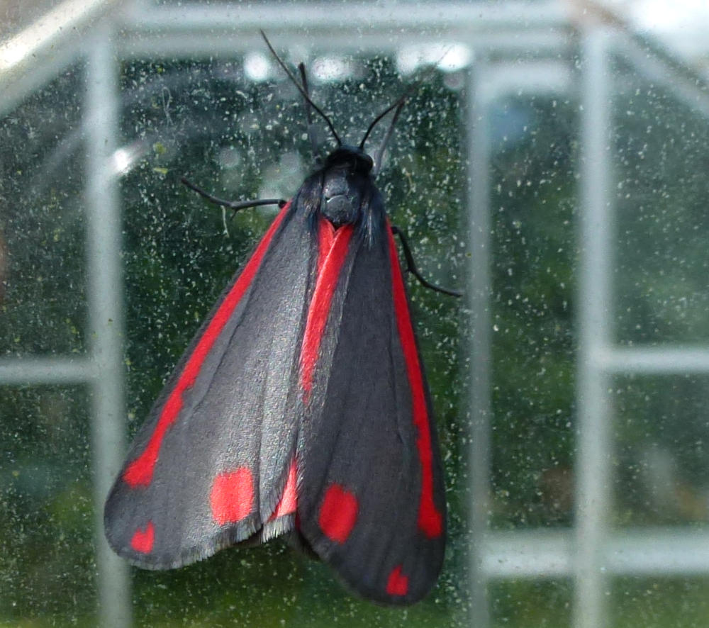 An Adult Cinnabar Moth.