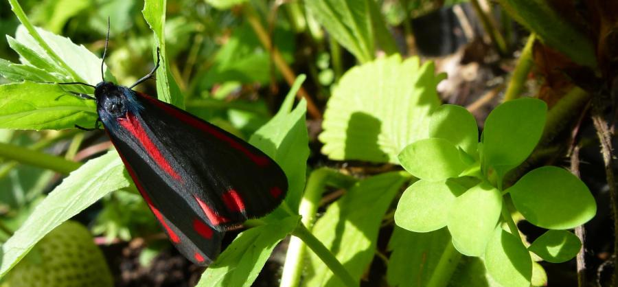 An Adult Cinnabar Moth (Tyria Jacobaeae).