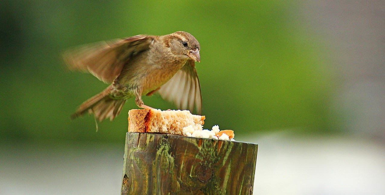 A Sparrow Eating Bread