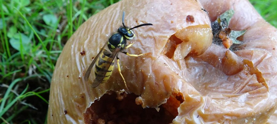 A drunken wasp on a rotten apple.