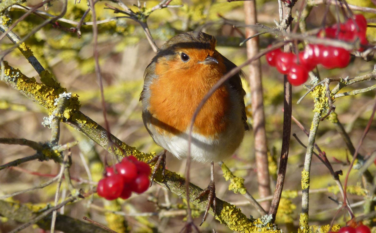 A robin (Erithacus_rubecula)