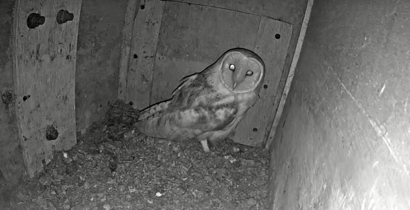 A webcam image of a barn owl.