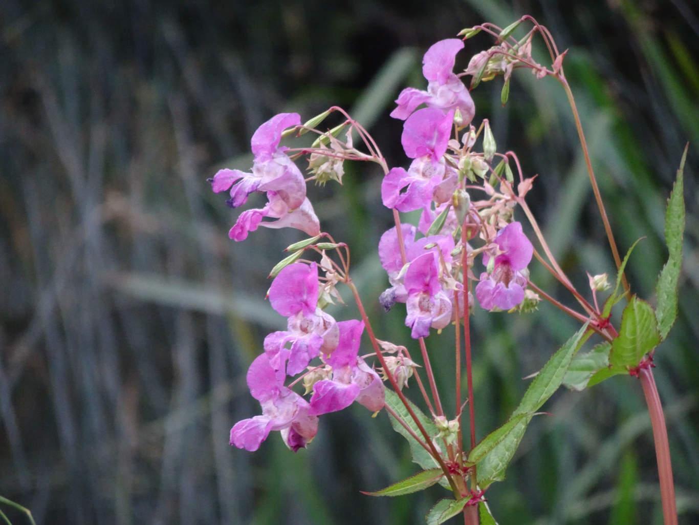 Himalayan balsam (Impatiens glandulifera) flowers