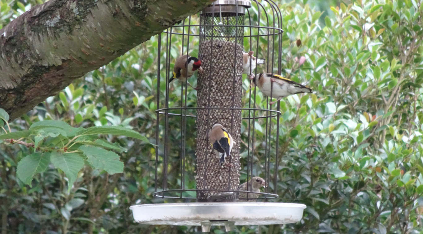 Goldfinches on a seed feeder