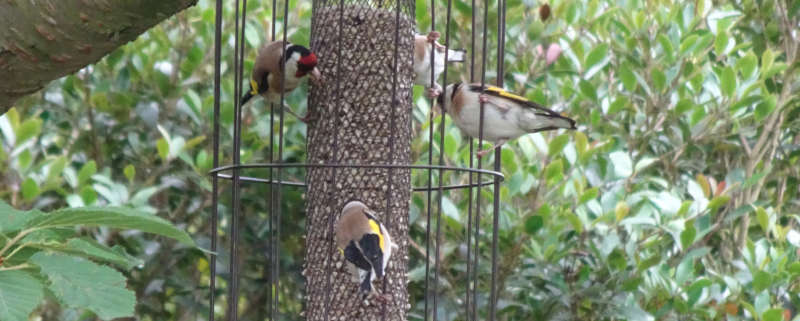 Goldfinches on seed feeder