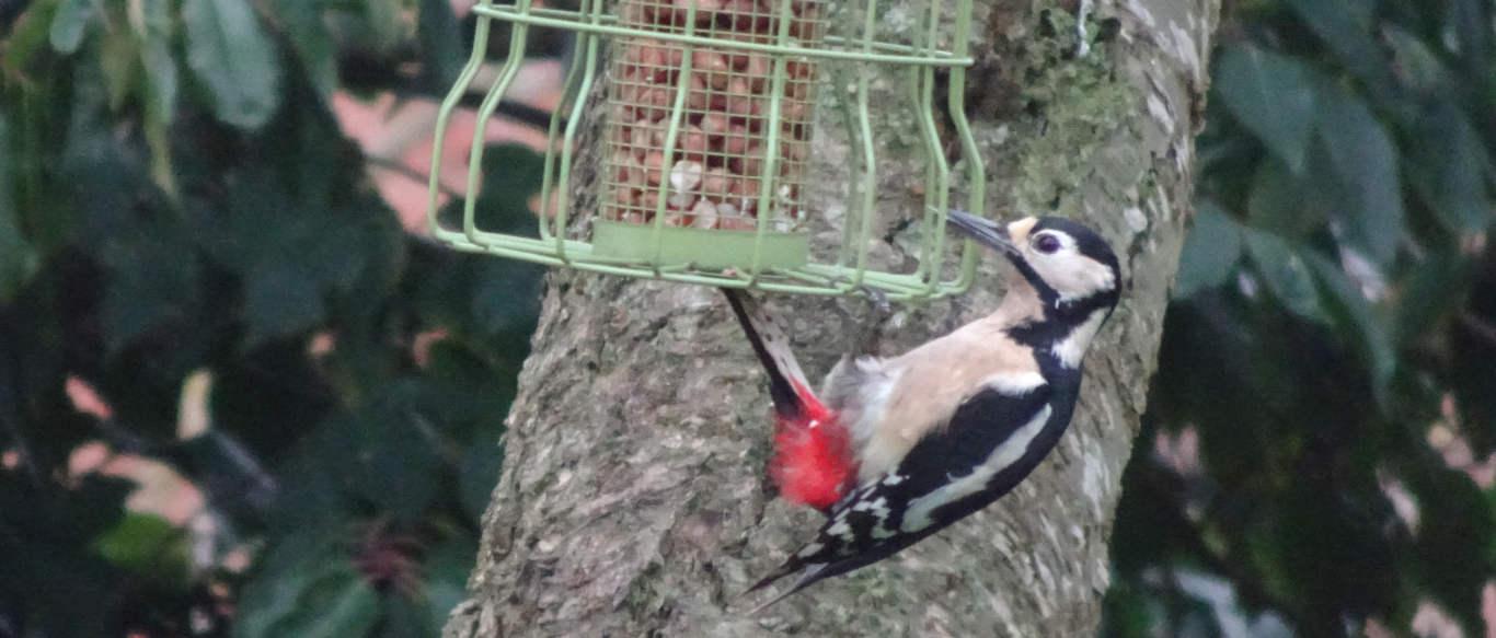 A woodpecker on a peanut feeder