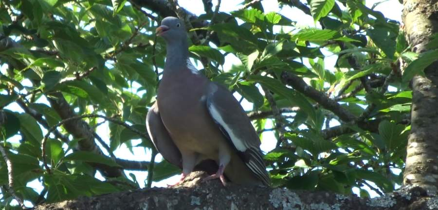 A wood pigeon in a tree keeping cool.