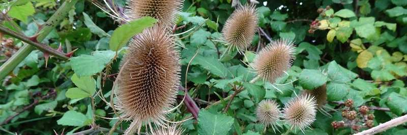 Teasel seed heads in an autumn hedgerow.