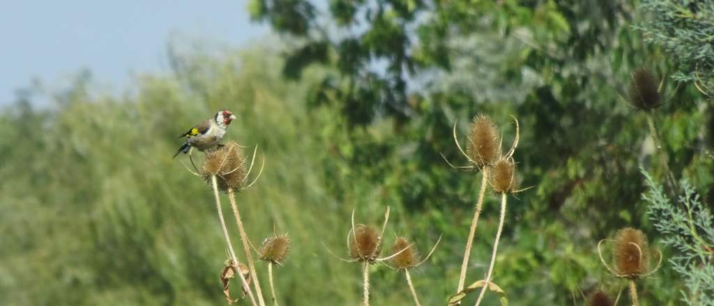 A godlfinh eating seeds from a teasel seed head.